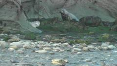 Female grey seal crawling towards its pup which was left on a stony beach Stock Footage