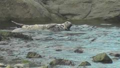 Grey seal pup is suckling in low water against the incoming tide Arkistovideo