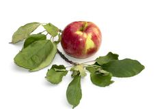 Still life apple and a branch of an apple-tree, the isolated image Stock Photos