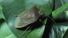 Green bug on leaves Stock Footage