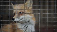 Fox In A Cage Stock Footage