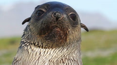 Southern fur seal Stock Footage