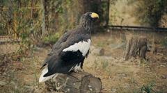 Steller's Sea Eagle Stock Footage