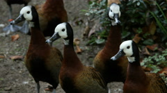 White-faced Whistling Ducks - stock footage