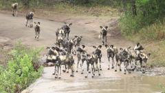 Wild dogs arrive at strong flowing river Stock Footage