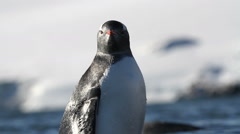 Gentoo penguin look at the camera Stock Footage