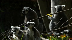 Ring-tailed Lemurs Stock Footage