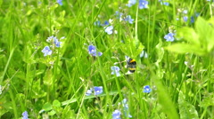 Bumble-bee Flying Between Flowers Slowly Stock Footage