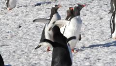 Penguins running in the snow - stock footage
