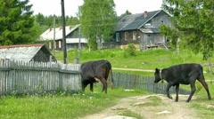 Cow in Russian Karelian Village Stock Footage