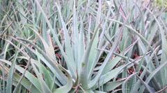 Stock Video Footage of Succulent plant Aloe vera