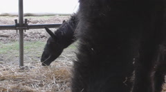 Alpaca eating Stock Footage