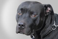 a black pitbull - stock photo