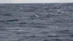 Wondering Albatross fishing - stock footage