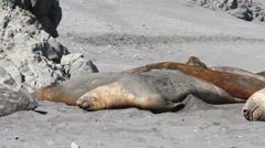 Sleeping Elephant Seals Stock Footage