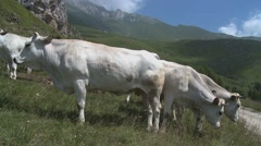 White cows eating grass in pasture with cow bells ringings (2) Stock Footage
