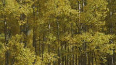 4K Static shot of Golden Yellow Aspen Trees in a Breeze Stock Footage