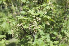 Ribes rubrum, red currant flowers - stock photo