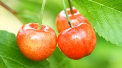 Ripe sweet cherry fruit and ant Stock Footage