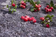 Lingonberries vaccinium vitis-idaea Stock Photos