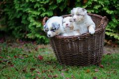 Three cure Australian Shepherd puppies in wicker basket on garden grass - stock photo