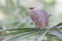 Leaf Butterfly, disguised to look like an autumn leaf - stock photo