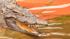 Closeup side view of crocodile's head with open jaw in park Stock Footage