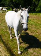 Stock Photo of Portrait of Lipizzaner stallion