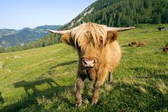 Highland cattle walking towards the camera - stock photo