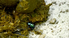 Dung beetle Stock Footage