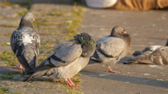 Four pigeons relaxing on the street in Prague Stock Footage