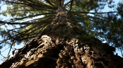 Coastal redwood close up Stock Footage