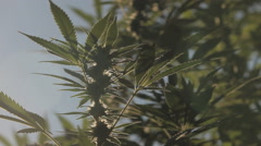 Stock Video Footage of Cannabis plant at flowering stage. outside in the sunlight