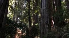 Coastal redwood trees tilt Stock Footage