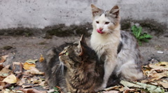 Cats love. Two wild homeless cat on the street lick each other Stock Footage