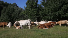 Stock Video Footage of Cattle herd resting on pasture
