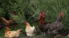 Several free range chickens acting under the bush Stock Footage