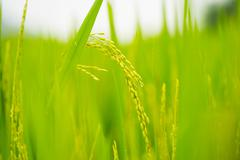 ripening grain in field - stock photo