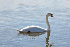 White swan - stock photo