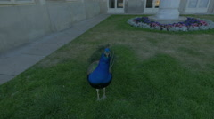 Beautiful peafowl next to Palace on the Water in Lazienki Park, Warsaw Stock Footage