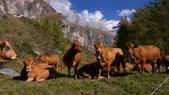 Herd of dairy cows in the Alps looking at camera - pan Stock Footage