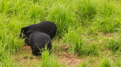 Two black bears walk play on green grass in tourist park Stock Footage
