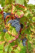 Stock Photo of ripe red vine grapes in vineyard