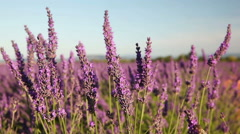 Lavender flowers in the wind Stock Footage