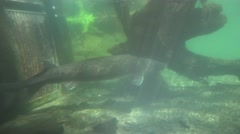 White Sturgeon. captive fish - stock footage