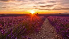 Time lapse of sunset over a field of lavender and two trees Stock Footage