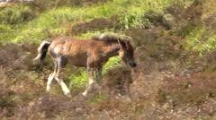 Dartmoor Pony England UK - stock footage