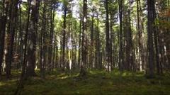 Cedar forest - long shot - panoram Stock Footage