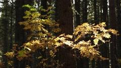Cedar forest - Rowan Stock Footage