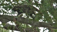 Racoon climbing through trees during the daytime, in the woods  of Florida Stock Footage